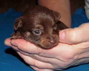 Gorgeous  chocolate and fawn Chihuahua pups London Ontario image 4
