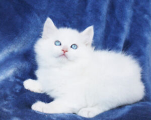 BiColoured Ragdoll Boy Kittens are Available for Adoption