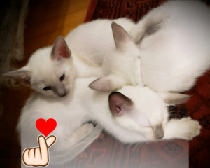 ❤MAGNIFIQUES CHATONS SIAMOIS❤GORGEOUS PURE SIAMESE KITTENS