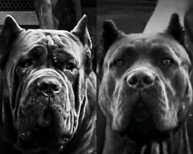World Class Cane Corso Blue Puppies from FCI registered parents