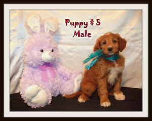 Mini-Golden PyreDoodle F1 Puppies