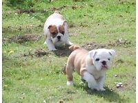 Beautiful, healthy, KC Registered Bulldog puppies for sale