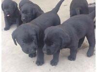 black labrador pups for sale