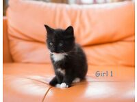 Kittens for sale, Domestic short hair. Available from 19.05.2021
