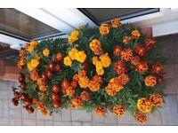 Marigolds flowers plants