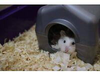 URGENT Roborovski hamster needs a new home