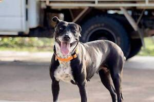 Adopt Tess 3yr Bull Arab X North Ward Townsville City Preview