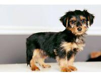 YORK terrier 07375473269