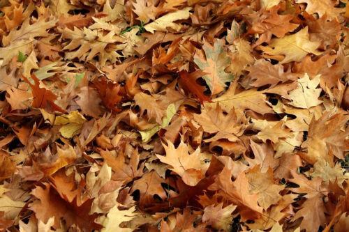 1 gal Oak Leaf Litter No Pesticides ~ Hand Picked Dart Frog Vivarium Free Ship