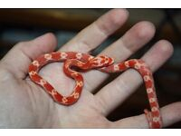 Corn Snake with Brand new starter pack £80 CAN DELIVER