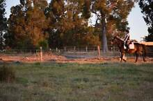 Exprexion of interest - Allround horse for sale Donnybrook Donnybrook Area Preview