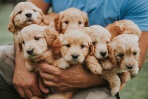 Mini Golden Doodle puppies