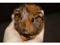 Male guinea pig 11 weeks old