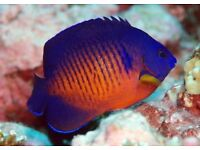 Coral beauty marine tropical salt water reef fish aquarium