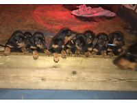 Doberman puppys