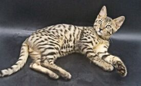 Gorgeous Bengal Kittens Last Girl Available