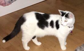 Friendly black and white tuxedo cat