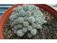 Mammillaria Prolifera Cactus
