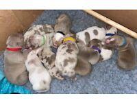ABKC Reg XL American Bully Puppies Merle Tri Lilacs