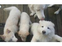 White king German Shepard puppies for sale