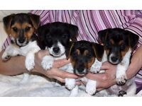 4 well bred Jack Russell puppies for sale