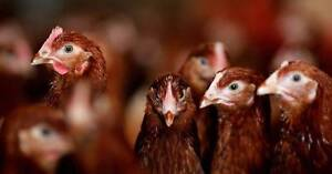 CHICKEN SALES - POINT OF LAY ISA BROWNS FULL BEAK 20 WEEKS OLD Northcote Darebin Area Preview