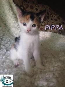 """Baby Female Cat - Domestic Short Hair: """"Pippa - Sweetie!"""""""
