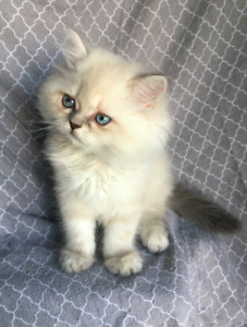 White Purebred Persian Kittens!!! **1 Male and 2 Females Left!**