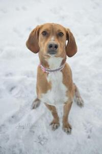 """Young Female Dog - Coonhound-Foxhound: """"Lacey"""""""