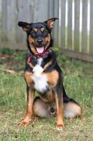 "Young Male Dog - Rottweiler-Husky: ""Ryder"""