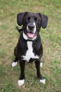 """Young Male Dog - Great Dane-Border Collie: """"Newman"""""""
