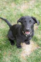 Baby Male  - Labrador Retriever-German Shepherd Dog