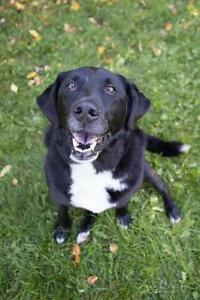 "Adult Male Dog - Labrador Retriever-Border Collie: ""Cole"""