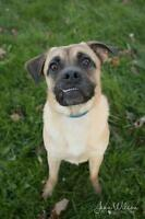 "Young Male Dog - Pug-German Shepherd Dog: ""Darby"""