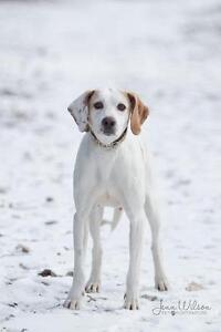 "Adult Female Dog - Foxhound: ""Samanah"""