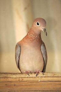 Senegal Laughing Doves