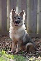 Adult Female  - Shetland Sheepdog Sheltie-German Shepherd Dog