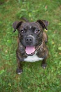 """Young Female Dog - Boxer-Boston Terrier: """"Della"""""""