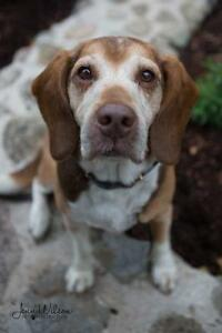 "Senior Male Dog - Beagle: ""Dudley"""
