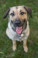 "Young Female Dog - Labrador Retriever-German Shepherd Dog: ""Aly"""