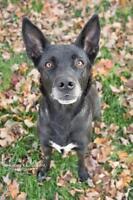 "Adult Female Dog - Border Collie-Husky: ""Tippy"""