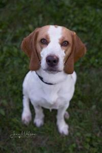 """Young Male Dog - Beagle: """"Dennis"""""""