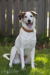 "Adult Female Dog - Labrador Retriever-Collie: ""Nova"""