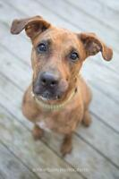 "Young Female Dog - Boxer-Catahoula Leopard Dog: ""Portia"""
