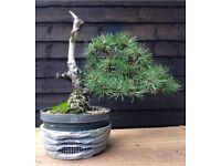 Quality Yamadori chuhin size styled Mugo Pine