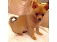 Pomeranian/chihuahua mix puppy