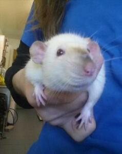 """Adult Female Small & Furry - Rat: """"Lacey (5)"""""""