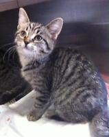 """Young Female Cat - Domestic Short Hair: """"Pippa"""""""