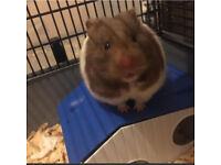 Hamster with temp cage!