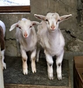 2 Buck Dairy Kid Goats